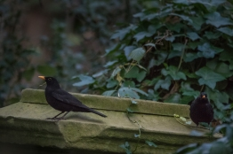 Blackbird, Abney Park Cemetery 12/20/2015