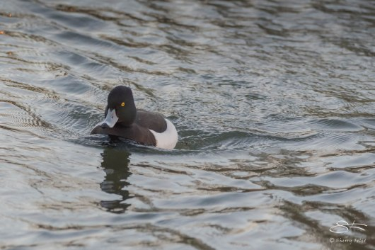 Tufted Duck, Clissold Park 12/21/15