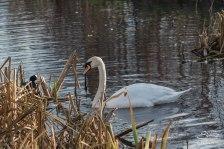 Mute Swan, Clissold Park 12/23/15
