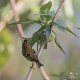 Goldcrest, Abney Park, London 12/28/15