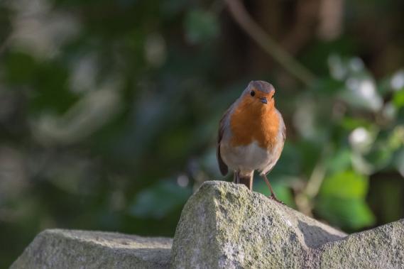 Robin, Abney Park Cemetery 12/28/2015