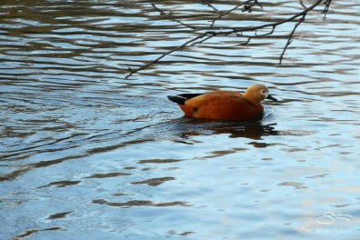 Ruddy Shellduck, St James Park 12/31/15