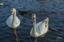 Trumpeter Swan, St James Park