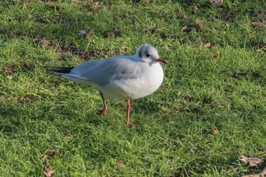 Black-headed Gull, St James Park 12/31/15