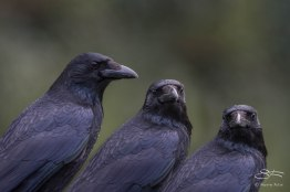 Carrion Crow, Deer Park, Greenwich 1/2/16