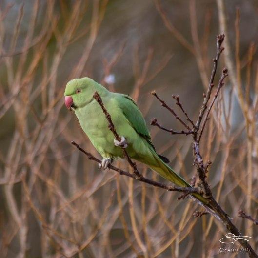Rose-ringed Parakeet, WWT London Wetland 1/4/16