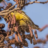Siskin, WWT London Wetland 1/4/16