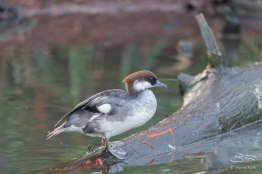 Smew, WWT London Wetland 1/4/16