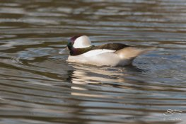 Bufflehead, WWT London Wetland 1/4/16