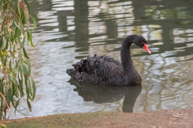 Black Swan, WWT London Wetland 1/4/16
