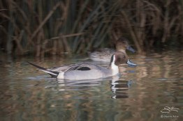 Northern Pintail, WWT London Wetland 1/4/16