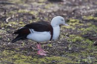 Radjah Shelduck, WWT London Wetland 1/4/16
