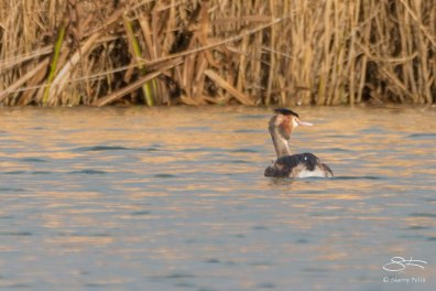 Great Crested Grebe, WWT London Wetland 1/4/16