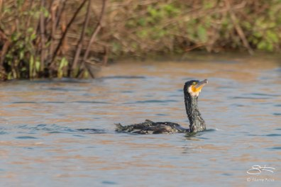 Cormorant, WWT London Wetland 1/4/16
