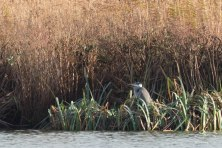 Grey Heron, WWT London Wetland 1/4/16