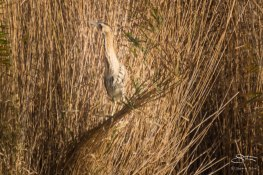 Eurasian Bittern, WWT London Wetland 1/4/16