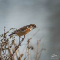 European Stonechat, WWT London Wetland 1/4/16