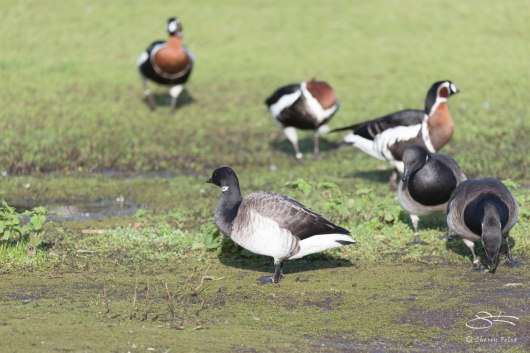 Red-breasted Goose and Brant, WWT London Wetland 1/4/16