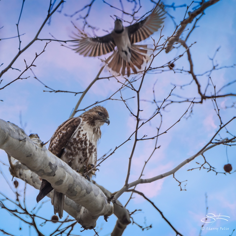 Red-tailed Hawk and Blue Jay, Central Park 3/15/2015