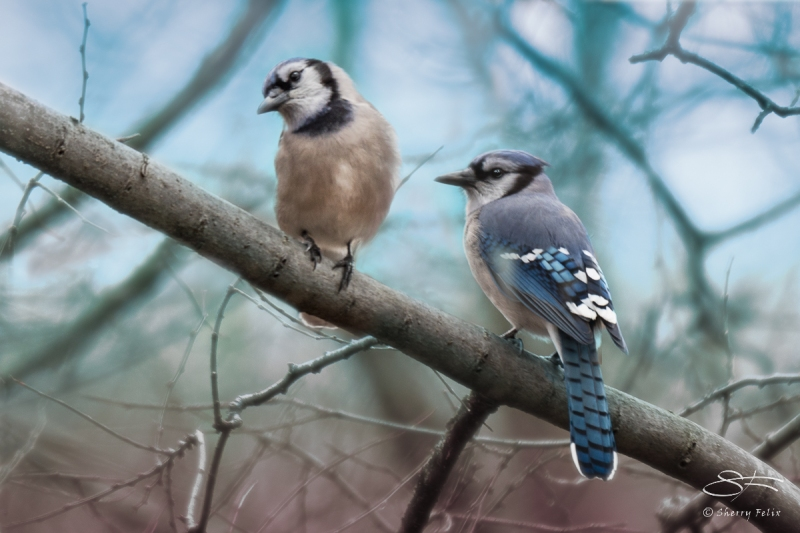 Two Blue Jays on Central Park February 25, 2016