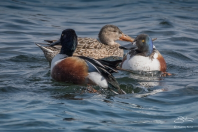 Northern Shovelers, Central Park Reservoir 7/3/2016