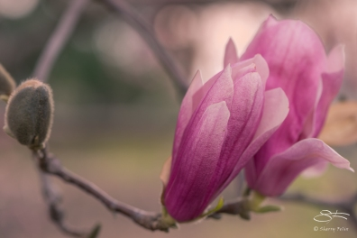 Magnolia, Central Park March 24, 2016