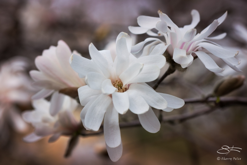 Star Magnolia, Central Park March 24, 2016