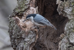3 White-breasted Nuthatch, Central Park 3/23/2016