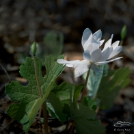 Bloodroot, Central Park 4/10/2016