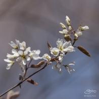 Prunus sp. Central Park 4/10/2016