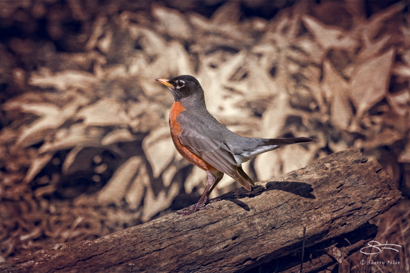 After: American Robin, Central Park 4/18/2016