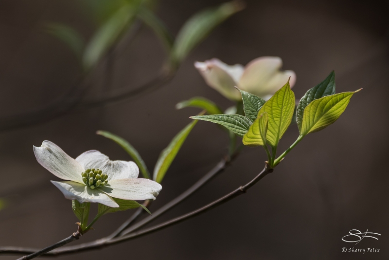 Dogwood, Central Park 4/22/2016