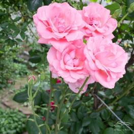 20110604 Suen Dragon Garden 22