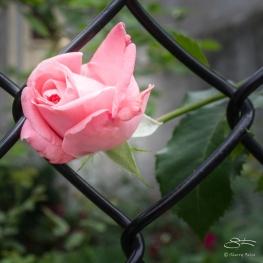 20110604 Suen Dragon Garden 23