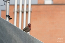 2011-06-14 High Line - House Finch