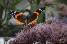 2012-07-14 High Line - Red Admiral (Vanessa atalanta)
