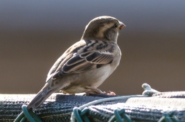 2012-10-10 High Line - House Sparrow