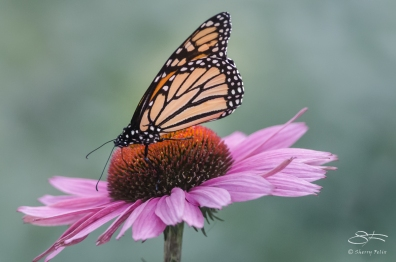2012-10-10 High Line - Monarch (Danaus plexippus)