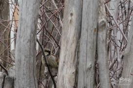 20132-02-25 High Line - House Sparrow