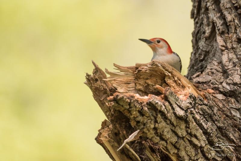 Red-bellied Woodpecker (Melanerpes carolinus), Central Park 5/9/2016