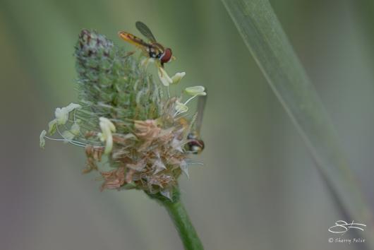 Flower Fly (Allograpta obliqua), Ward Pond Ridge 7/20/2014