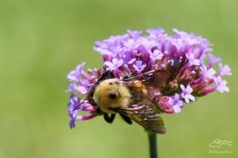 Hoeny Bee, Central Park 6/26/2015