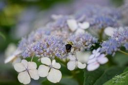 Common Carpenter Bee (Xylocopa virginica virginica), Central Park 6/26/2015
