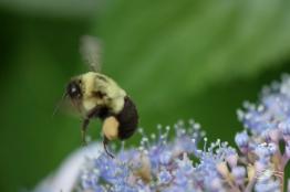 Common Carpenter Bee, Central Park 6/26/2015