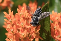 Flower Fly (Allograpta obliqua), Central Park 6/26/2015