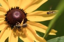 Flower Flies on Black-eyed Susan, Central Park 6/26/15