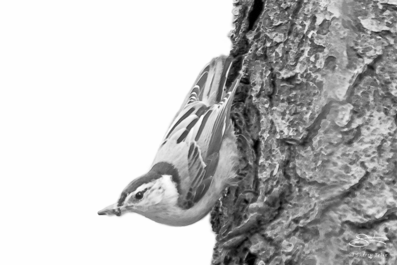 White-breasted Nuthatch  (Neognathae Passeriformes Sittidae), Ce