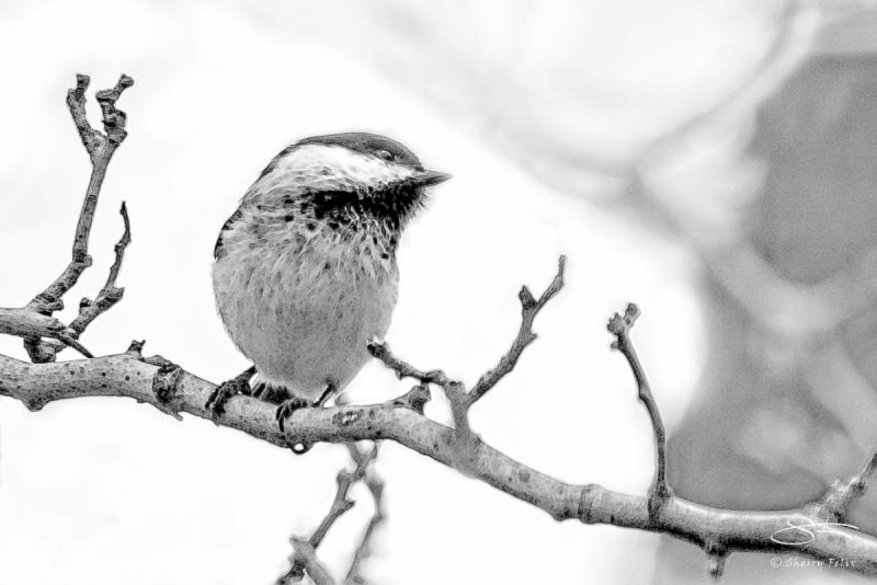 Black-capped Chickadee (Poecile atricapillus), Central Park 3/23/2016