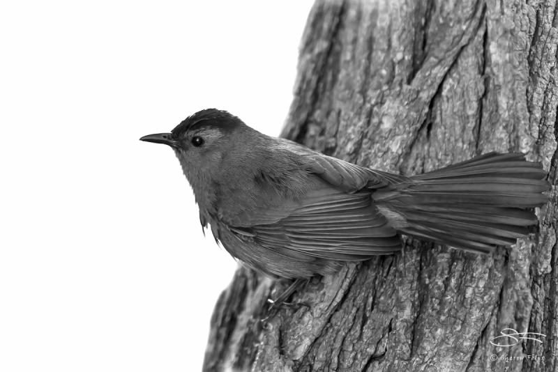 Grey Catbird (Dumetella carolinensis), Central Park 5/22/2016