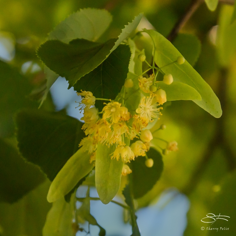 Small-leaved Linden (Tilia cordata), Wave Hill, NY 6/15/2016